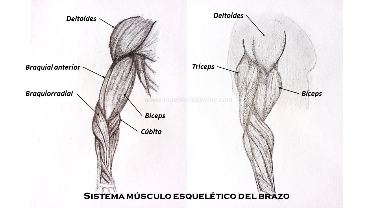 Sistema Musculo-Esquelético | Ingeniería Online